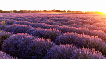 Lavender field in Provence, France. Rows of lavender in bloom ready to be collected. Lavender field summer sunset landscape near Valensole. Stunning landscape with lavender field at sunset.