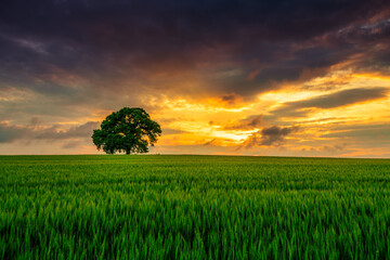 Tree in the field and dramatic clouds in the sky