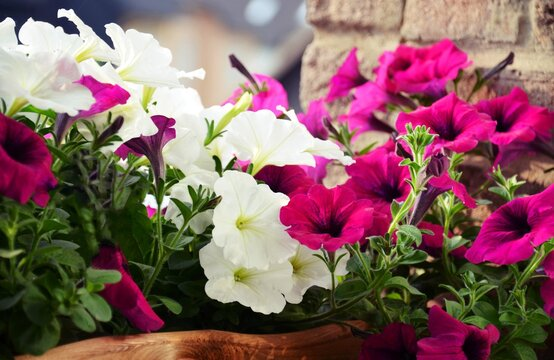 colorful petunia flowers in flower box