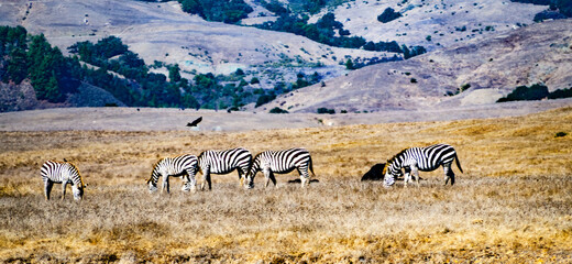 Zebras San Simeon Beach on Highway One Pacific Coast Highway Central California fall day on the coast