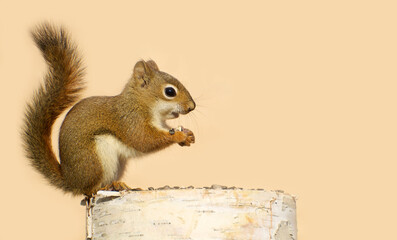 Young red squirrel on a birch log eating sunflower seeds.