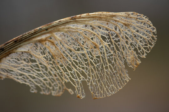 close up of dry sycamore seed.