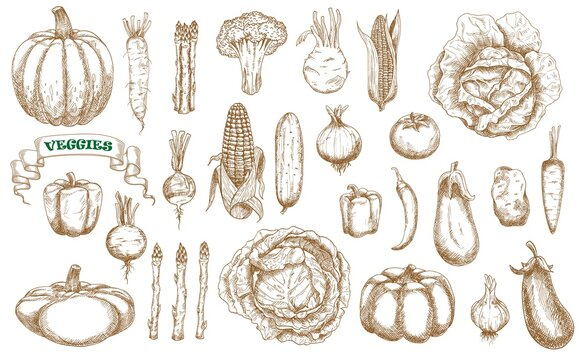 Farm vegetables sketch set. Vector broccoli, carrot, cabbage and cucumber, chilli and sweet bell peppers, kohlrabi and potato. Asparagus, beet and radish, corn, celery or pattypan squash farm veggies
