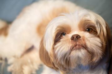 retrato de cachorro da raca shitszu