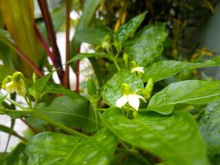 White chilli flower and green fruit.