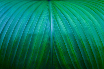 Wall Mural - abstract green leaf texture, closeup nature background, tropical leaf