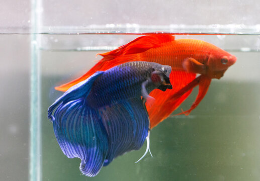Betta Blue and Red Veiltail VT Male or Plakat Fighting Fish Splendens on Black Background.