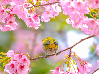 河津桜とメジロのお尻2