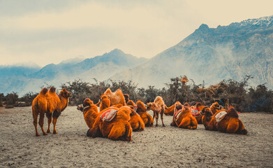 Photo sur Plexiglas Chameau Camels in Nubra Valley.Ladakh India.