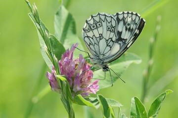 Schachbrettfalter sammelt Nektar einer Blume