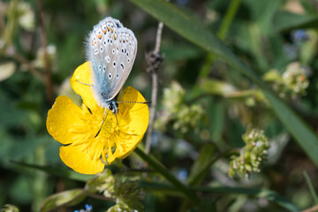 Common blue butterfly on a yellow flower closeup