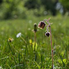 Blossom Water Avens in a green meadow