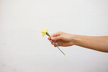 Hand holding a yellow carnation flower isolated on white.