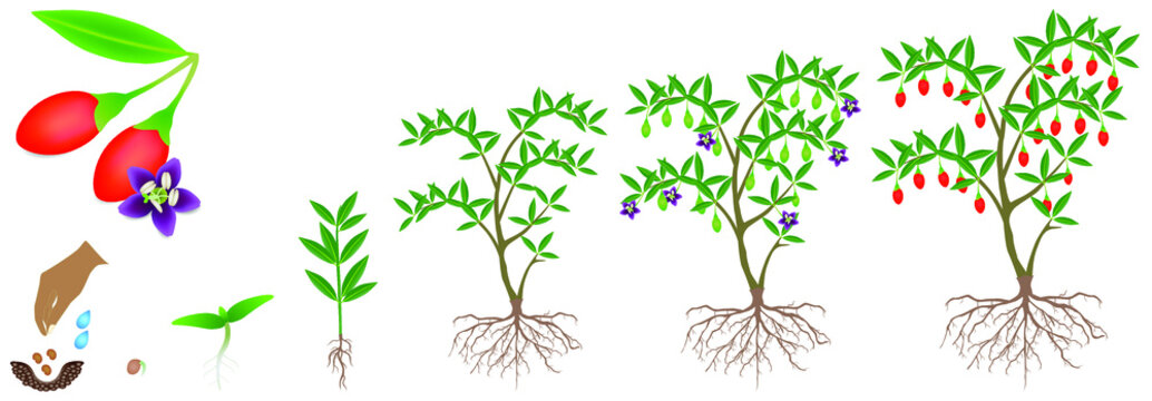 Cycle of growth of a goji berry plant on a white background.