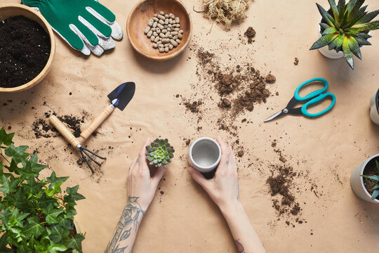 Top down view at tattooed female hands potting succulents while caring for houseplants at craft table, copy space