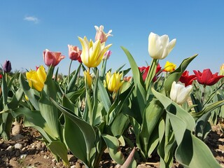 Tulpenfeld mit bunten Tulpen
