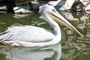 Canvas Prints Ostrich pelican (in german Pelikan) Pelecanidae, Pelecanus
