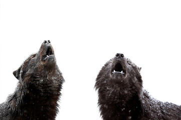 two howling wolf during a snowfall Fotomurales