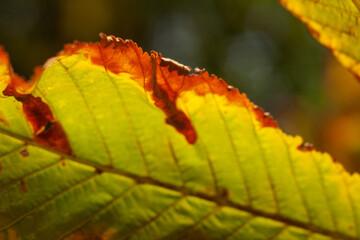 Kasztanowiec liść jesień