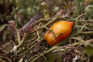 Locusts are seen after devastating a tomato farm near the town of Lodwar, Turkana county