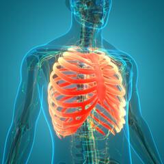 Human Skeleton System Rib Cage Anatomy