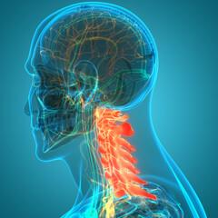 Vertebral Column Cervical Vertebrae of Human Skeleton System Anatomy