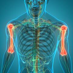 Human Skeleton System Bone Joints Anatomy