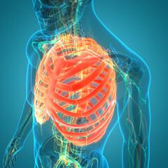 Human Skeleton System Thoracic Skeleton Anatomy