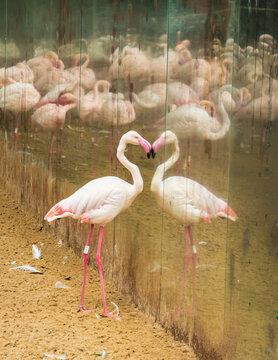 A Greater flamingo (Phoenicopterus roseus) looking at its own reflection at the Bird Park, popular tourist destination near the Iguazu Falls (Foz do Iguacu, Brazil)