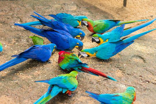 Different species of macaws eating from the floor at the Bird Park, popular tourist destination near the Iguazu Falls (Foz do Iguacu, Brazil)