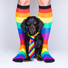 Stores à enrouleur Chien de Crazy gay dog with owner and rainbow socks