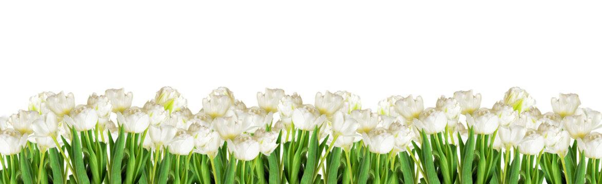 White tulips on white background, banner for website