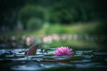 Garden Poster Lotus flower pink lotus flower or waterlily