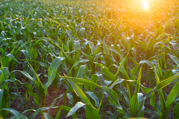 Green corn on an agricultural field in the summer sunset.