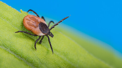 Deer tick lurking in green grass on azure sky background. Ixodes ricinus or scapularis. Danger in nature. Parasitic insect crawling on a natural leaf detail. Carrier of bacterial and viral infections.