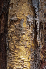 Obraz Bark of Copaiba Balsam Tree (Copaifera officinalis) - fototapety do salonu