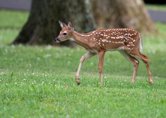 Fototapeta White-tailed deer fawn in an open meadow