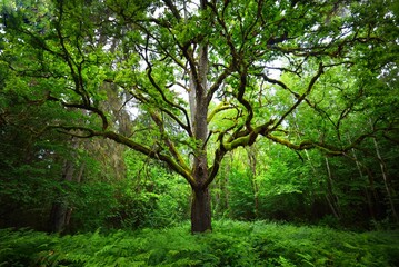An ancient sorcerer oak tree close-up. Moss, fern, emerald green leaves. Sunlight through the...