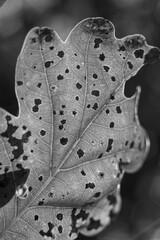 Liść czarno-biały światłocień