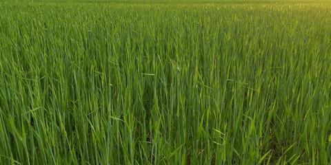 Foto auf Acrylglas Grun green rice field