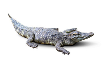 The Fresh water crocodile on a white background.