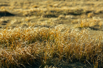 Golden grass in the Mongolian steppe, close-up.