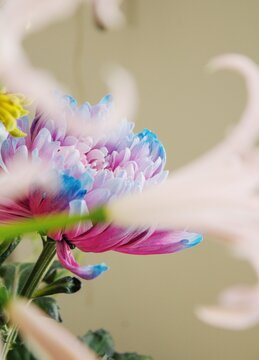 blue and pink peony flower