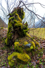 Trunk of an old tree with moss around. Morphic shape of a woman looking at the mountains