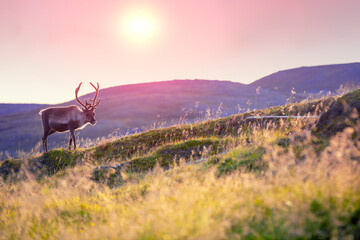 Photo sur Aluminium Inde Reindeer grazing on a hill in Lapland at sunset
