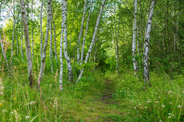 path amidst birch trees in the brigth forest
