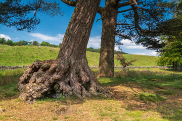 A blended summer HDR image of a conifer leaning over showing the root system in the trough of bowland, Lancashire, England