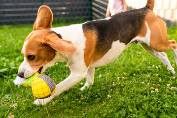 Adorable tricolor beagle dog having a great time in the yard in the summer.