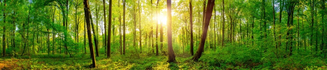 Obraz Panorama of a beautiful green forest with bright sun shining through large trees - fototapety do salonu