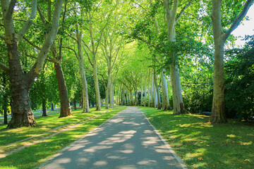 walkway through green sycamore tree alley